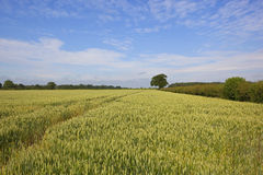Yorkshire wheat field Royalty Free Stock Photography