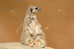 A meerkat siting up on rock royalty free stock image