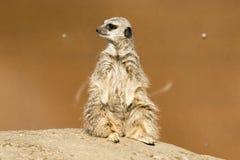 A meerkat siting up on rock royalty free stock photos