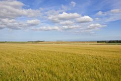 Yorkshire wolds barley crop Royalty Free Stock Photos