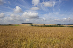 Yorkshire wolds canola Royalty Free Stock Image