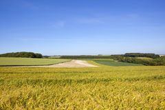 Yorkshire wolds korn och vete Fotografering för Bildbyråer