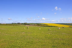 Yorkshire wolds livestock in springtime Stock Photography