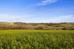 Yorkshire wolds mustard crop Royalty Free Stock Images