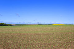 Yorkshire wolds pea field Royalty Free Stock Photo