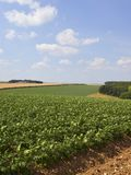 Potato fields in a patchwork summer landscape stock image