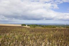 Yorkshire wolds sceneria i fasoli uprawa Obrazy Stock