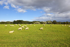 Yorkshire wolds sheep Royalty Free Stock Photography