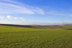 Yorkshire wolds wheat fields. Rolling winter wheat fields in an english farming landscape on a sunny day in the yorkshire wolds under a blue sky with white wispy Royalty Free Stock Photo