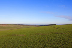 Yorkshire wolds wheat Royalty Free Stock Image