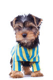 Yorkshite puppy, standing, cute dressed Royalty Free Stock Photography