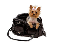 Yorkshore Terrier in a Black Travel Bag Royalty Free Stock Photos