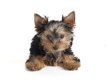 Yorky Royalty Free Stock Photography