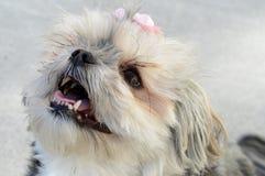 Yorky Dog Breed Stock Photography