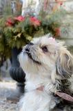 Yorky Dog Breed Royalty Free Stock Photos