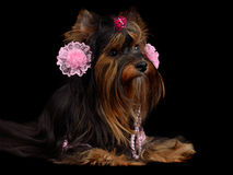 Yorky dog with pink accessories Stock Photo