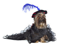 Yorky dog wearing luxurious dress and hat Royalty Free Stock Image