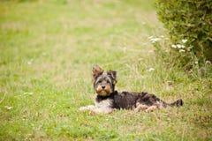 年轻Yorshire狗 免版税库存照片