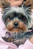 Yorshire-Terrier, der Kamera betrachtet, während Sie in den Händen gehalten werden lizenzfreie stockbilder
