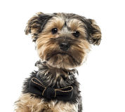 Yorshire terrier in front of a white background Royalty Free Stock Photo