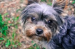 Yorshire terrier looking at camera royalty free stock photography