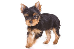 Yorshire terrier puppy Royalty Free Stock Photography