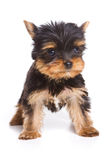 Yorshire terrier puppy Stock Photo