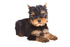 Yorshire terrier puppy Stock Photography