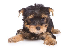 Yorshire terrier puppy Stock Images