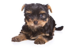 Yorshire terrier puppy Royalty Free Stock Photo