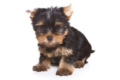 Yorshire terrier puppy Royalty Free Stock Photos