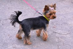 Yorshsky-Terrier Lizenzfreies Stockfoto