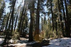 Yosemite, деревья Стоковая Фотография RF