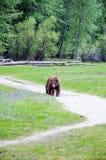 Yosemite björn som tar en promenad till och med spegel sjöäng Arkivfoto