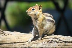 Yosemite Chipmunk Στοκ Εικόνες