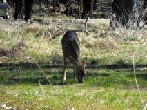 Yosemite Deer royalty free stock photos