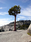 Yosemite lonely pine tree. A lonely pine tree growing right out of the granite in Yosemite National Park, California stock photography