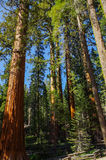Yosemite National Park - Forest of Giants Sequoia. Play of light and colors in the forest of giant sequoia Stock Photos