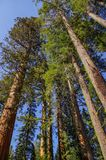 Yosemite National Park - Giants Sequoia Stock Image