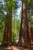 Yosemite National Park - Mariposa Grove Redwoods Stock Image