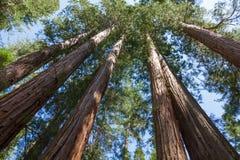 Yosemite National Park - Mariposa Grove Redwoods. California Royalty Free Stock Photos