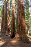Yosemite National Park - Mariposa Grove Redwoods. California stock photos