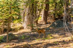 Yosemite National park wildlife. Deers walking in the wild stock image