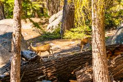 Yosemite National park wildlife. Deers walking in the wild. Among the trees royalty free stock photos