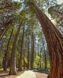 Yosemite Nationalpark - Rothölzer Mariposa Grove - Kalifornien lizenzfreies stockbild