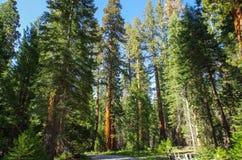 Yosemite park narodowy - gigant sekwoja Zdjęcia Royalty Free