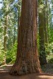 Yosemite Park Narodowy - Mariposa Gaju Redwoods Zdjęcie Stock