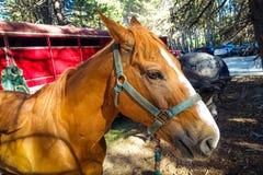 Yosemite-Pferd stockbilder