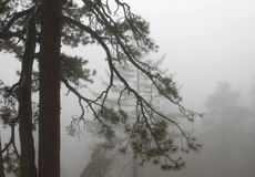 Yosemite Pines In In Foggy Winter Royalty Free Stock Images