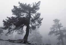 Yosemite Pines In The Fog Royalty Free Stock Image